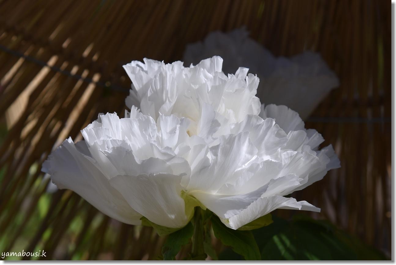 一月・睦月 白い冬ぼたんの花 1
