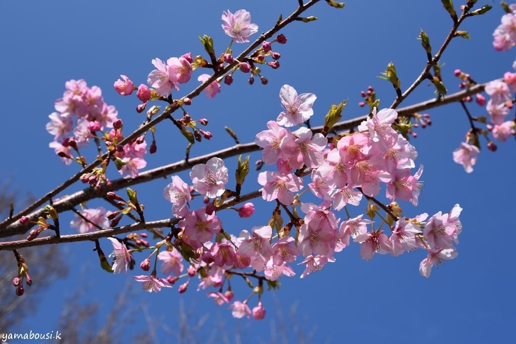 長~く咲く桜 早咲の河津桜