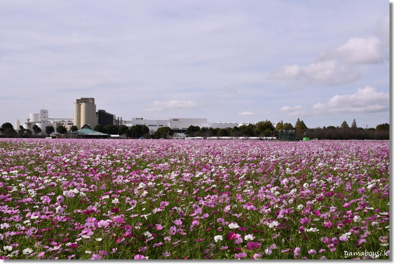 キリンビール福岡工場(2019)満開のコスモス 1