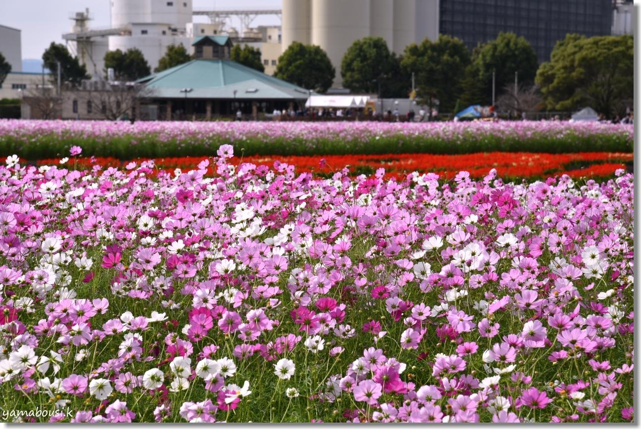 キリンビール福岡工場(2019)満開のコスモス 2