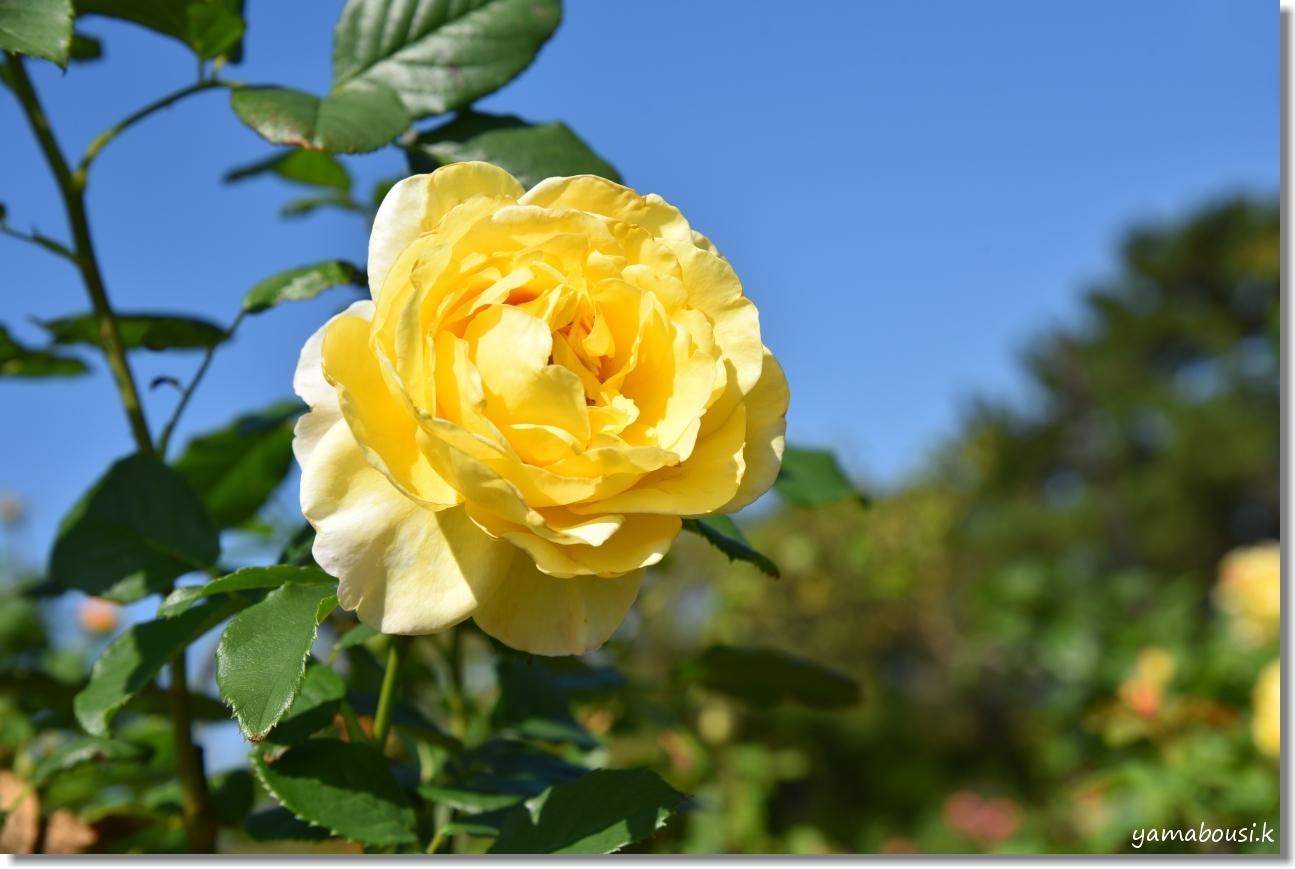 うみなかバラ園 秋バラと青空 9
