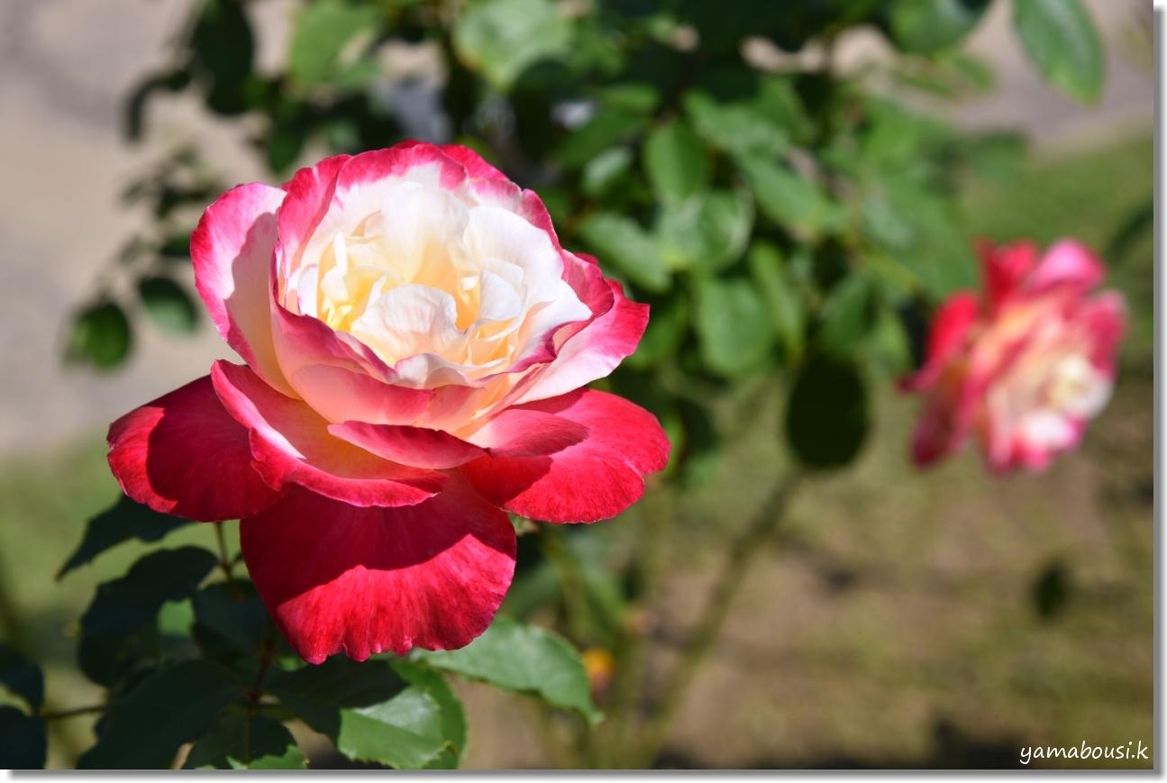 うみなかバラ園 秋バラと青空 7