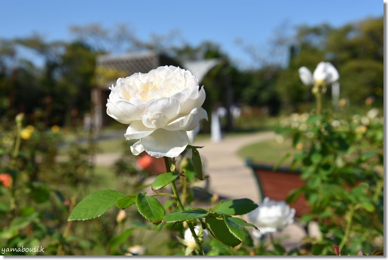 うみなかバラ園 秋バラと青空 6