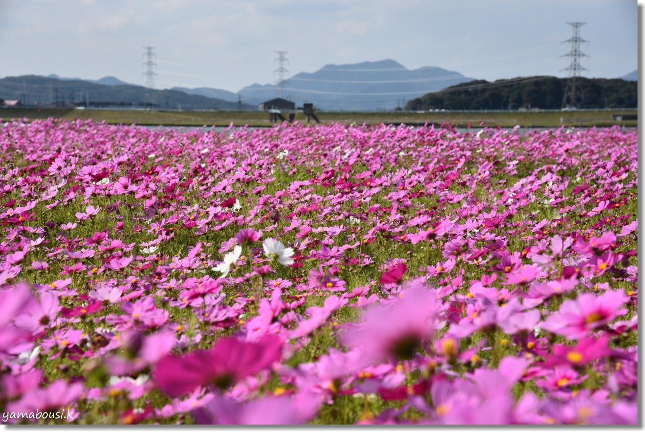 水巻町コスモス(2019)コスモスの絨毯 4