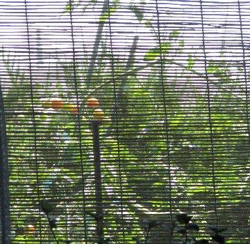 窓から見えるミニトマト2IMG_0140