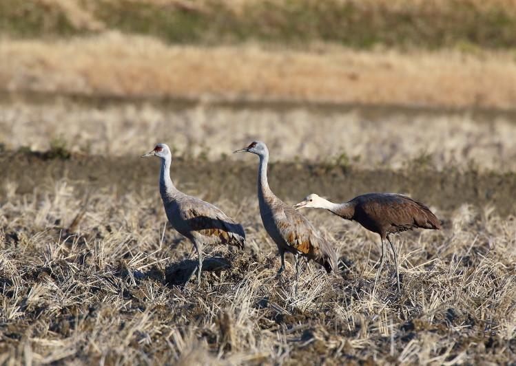 0N8A7121カナダヅルとナベヅル幼鳥