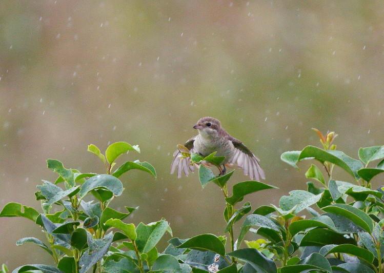 0N8A0030雨降りシマアカモズ幼鳥