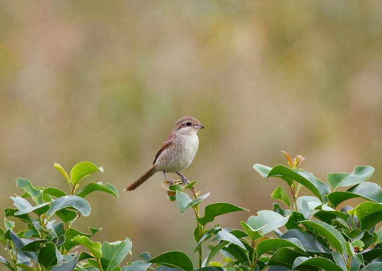 0N8A9725シマモズ幼鳥