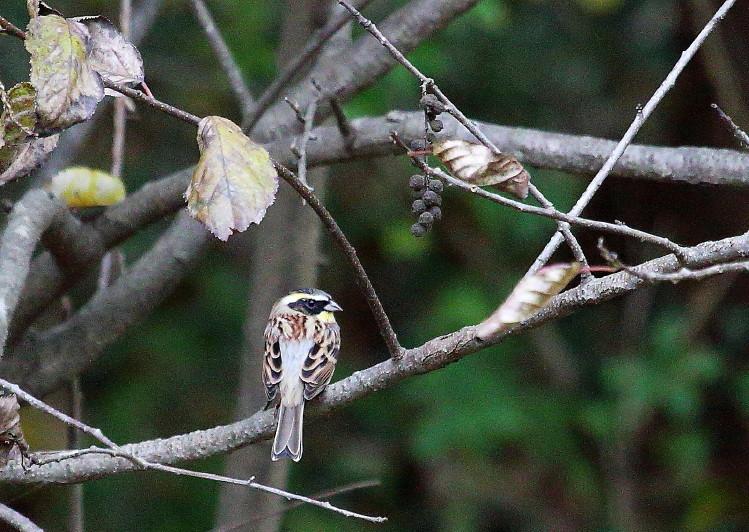 0N8A1776木の実ミヤマホオジロ