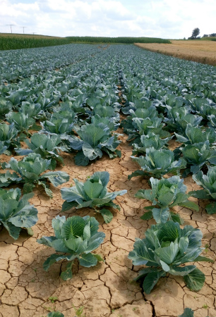 20200719キャベツ畑