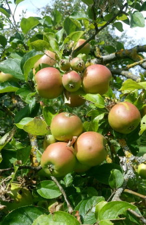 20200719りんご畑