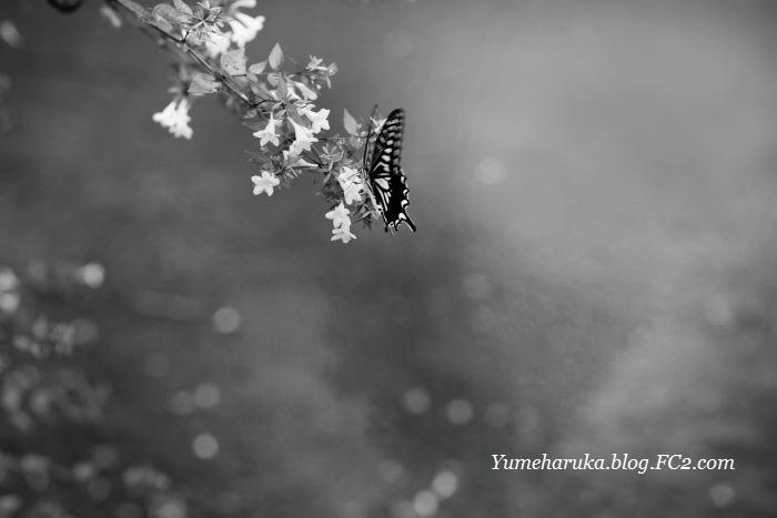 蝶・文月雨情・DSCF9457 梅雨の蝶1