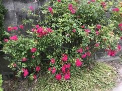 rose202051.jpg