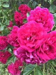 rose202052.jpg