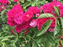 rose202053.jpg
